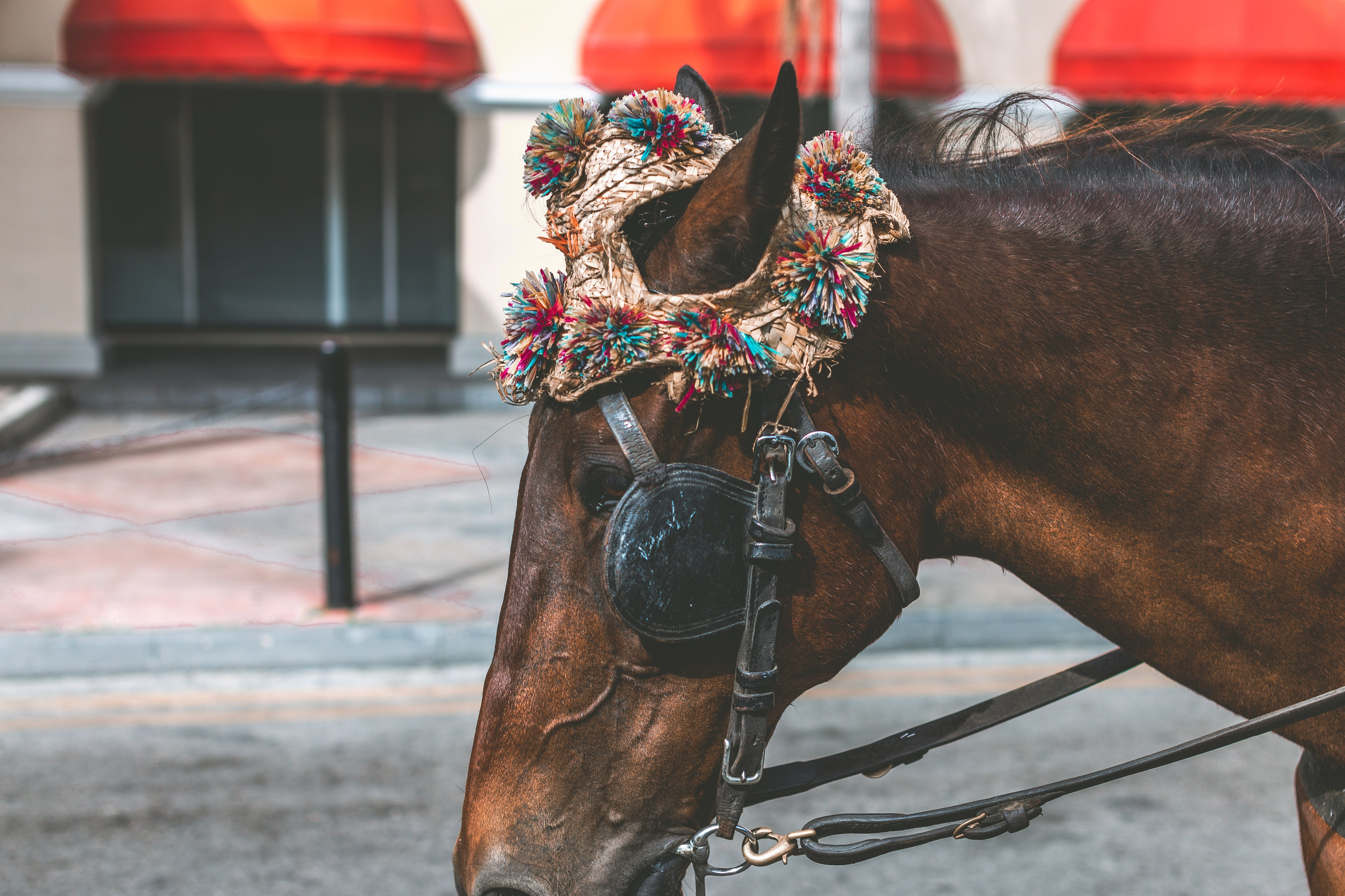 Kostenloses Stock Foto zu bahamas, braunes pferd, fashion, hut