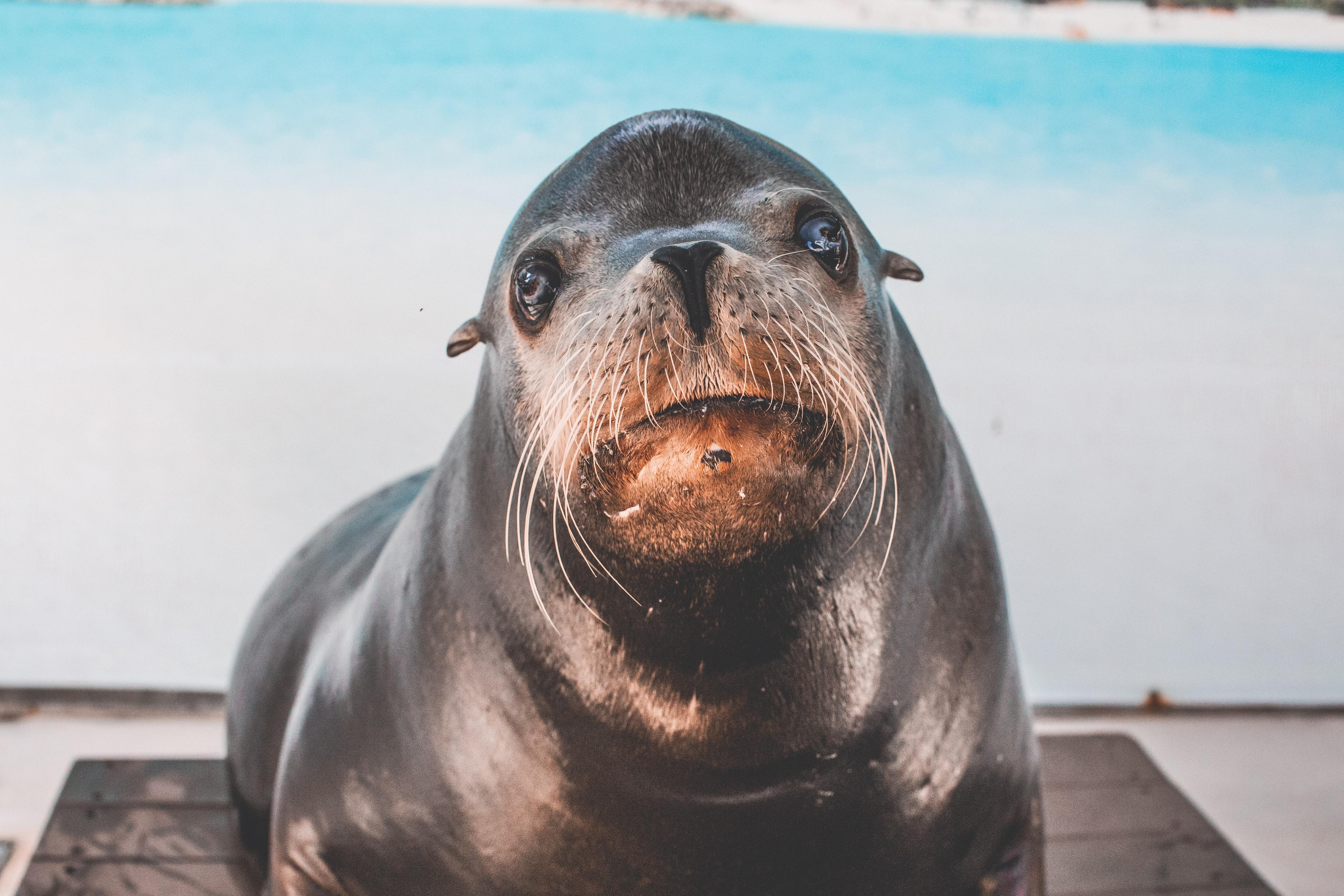 106+ Gambar Hewan Anjing Laut Terbaru