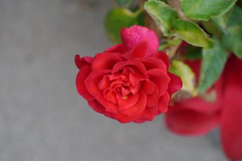 Fotobanka sbezplatnými fotkami na tému blume, červená, kvet ruže, ruža