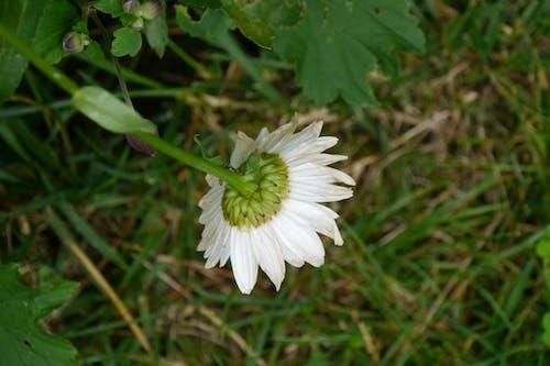 Kostnadsfri bild av blomma, graass, witheflower
