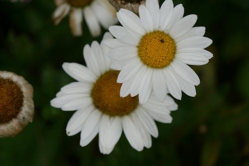 Fotobanka sbezplatnými fotkami na tému kvet, margarita