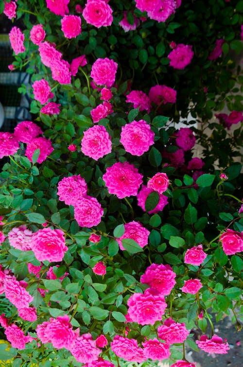 Darmowe zdjęcie z galerii z czerwona róża, gaden, kolor, kolor różowy