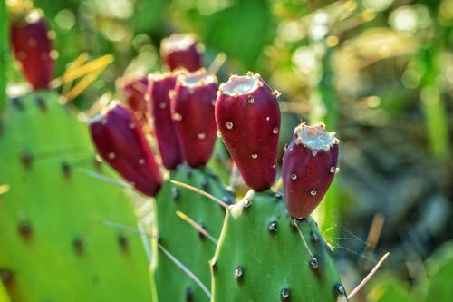 Selective Focus Photography of Prickly Pear Cactus