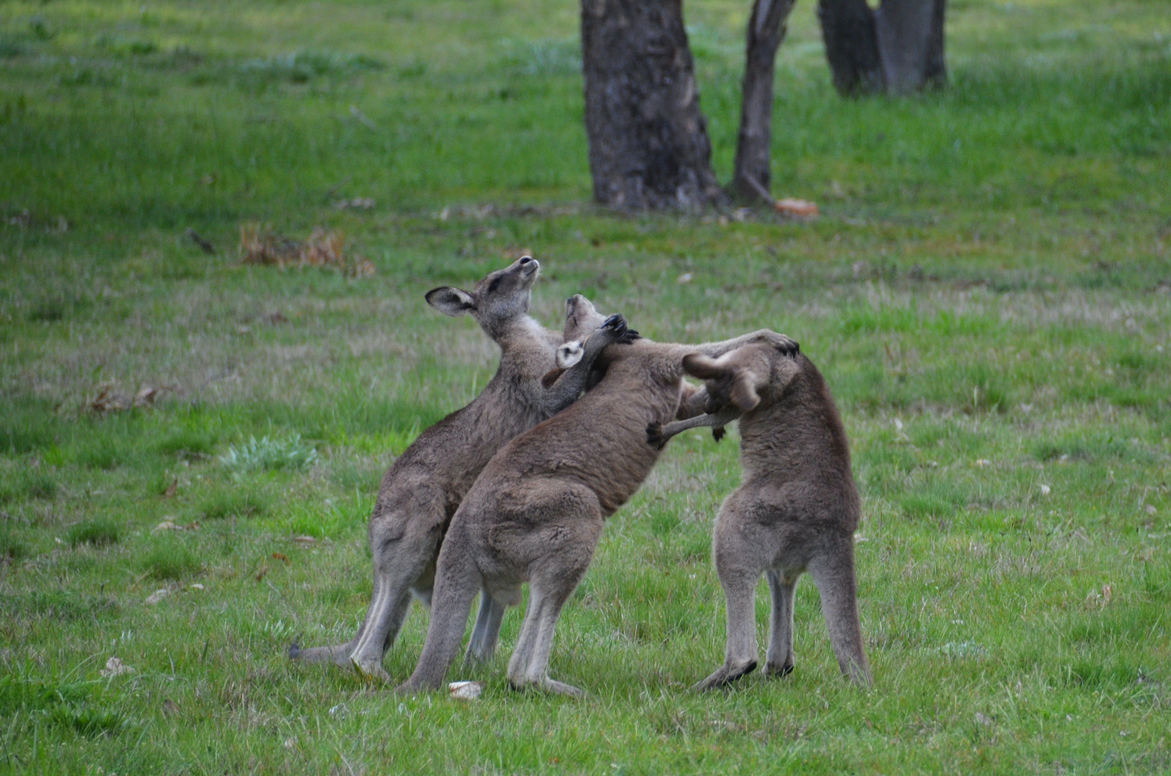 Free stock photo of 3 male kangaroos fighting