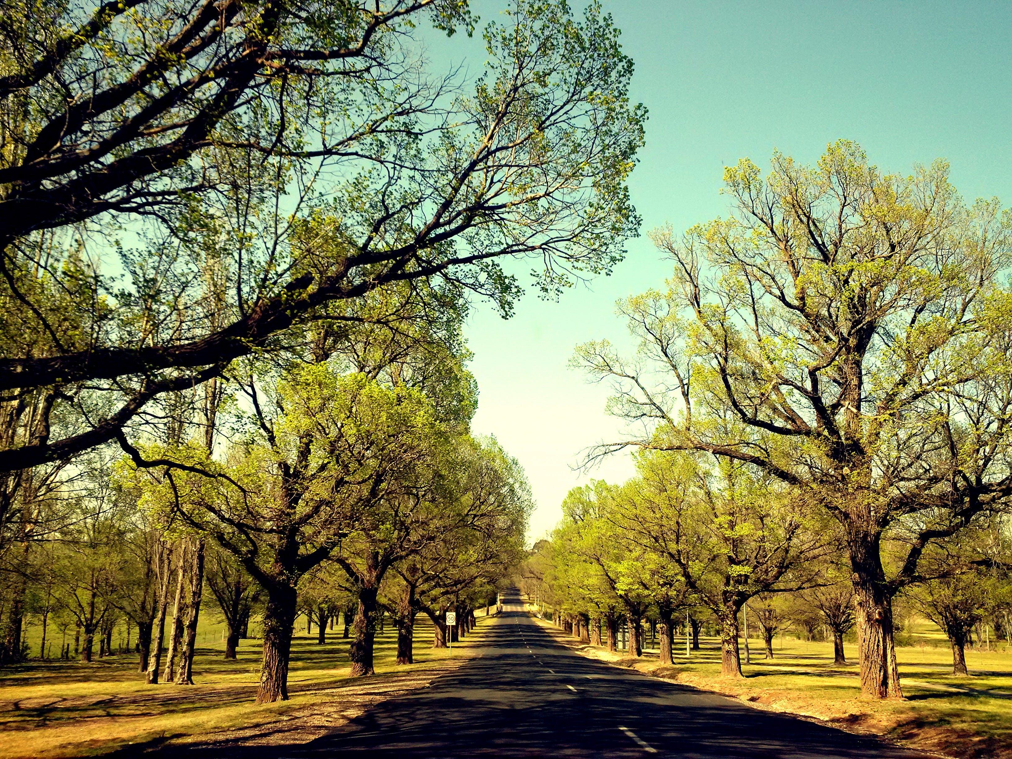 Free stock photo of elm trees, road, spring, trees