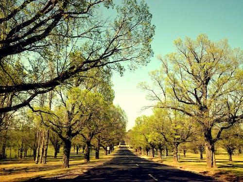 Free stock photo of elm trees, road, trees