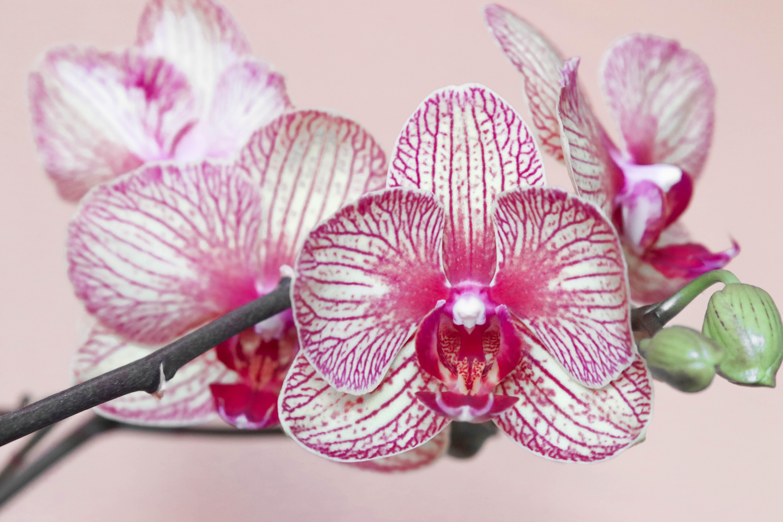 Kostnadsfri bild av blomma, orkide, växt