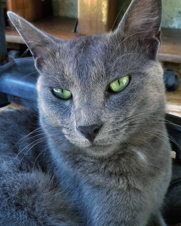 Free stock photo of #cat #animal #domestic #gray #eye #green #cute