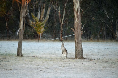 Free stock photo of australia, cold frosty winter morning, kangaroo with joey in pouch