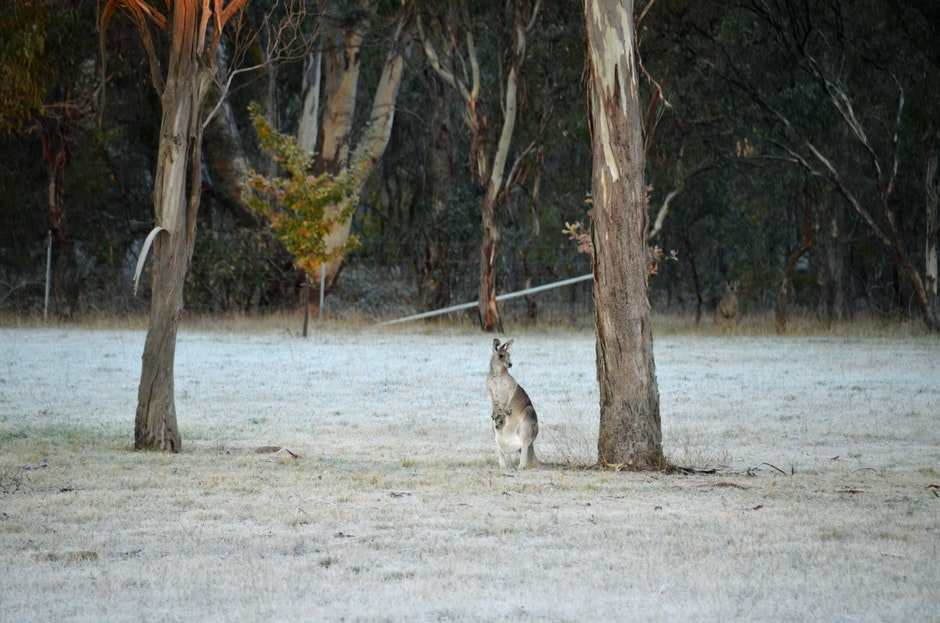 australia, cold frosty winter morning, kangaroo with joey in pouch