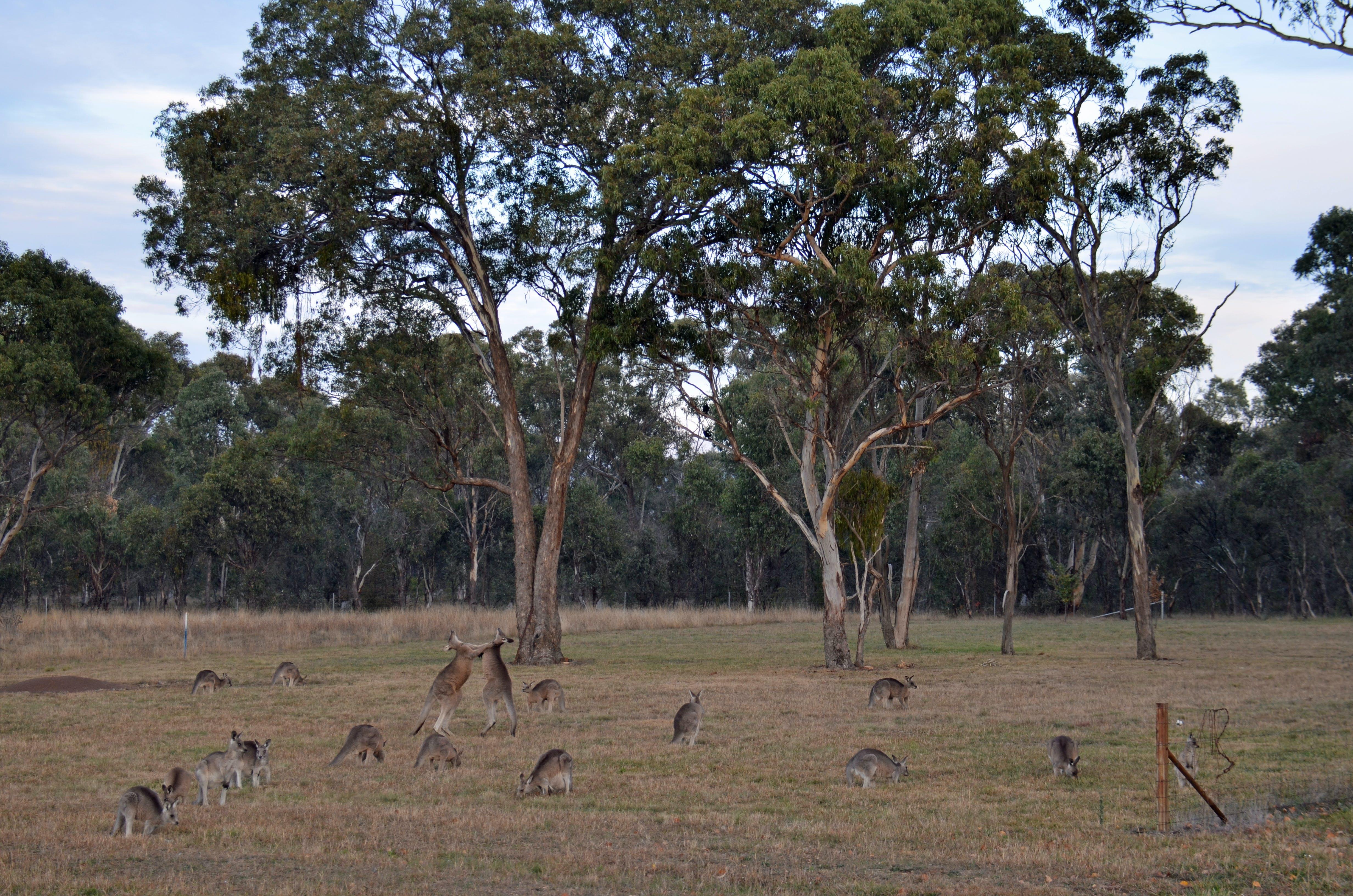 Free stock photo of australia, kangaroos fighting, kangaroo mob