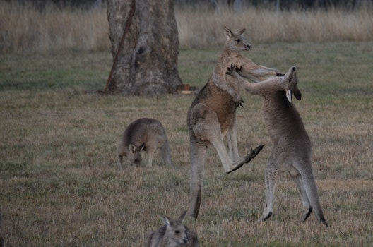 Free stock photo of australia, kangaroos fighting