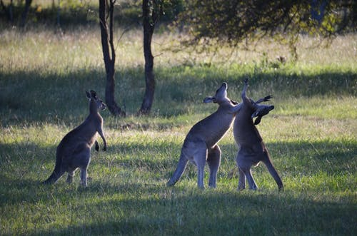 Free stock photo of australia, kangaroos fighting