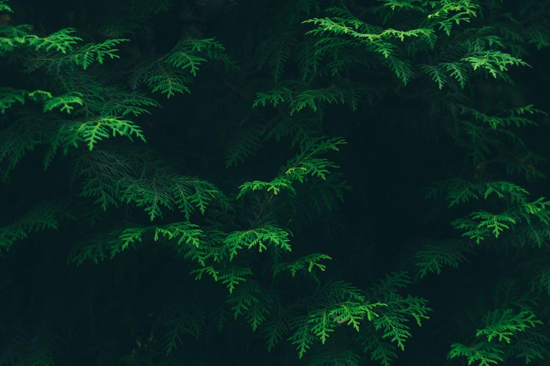 Green Pine Tree Leaves