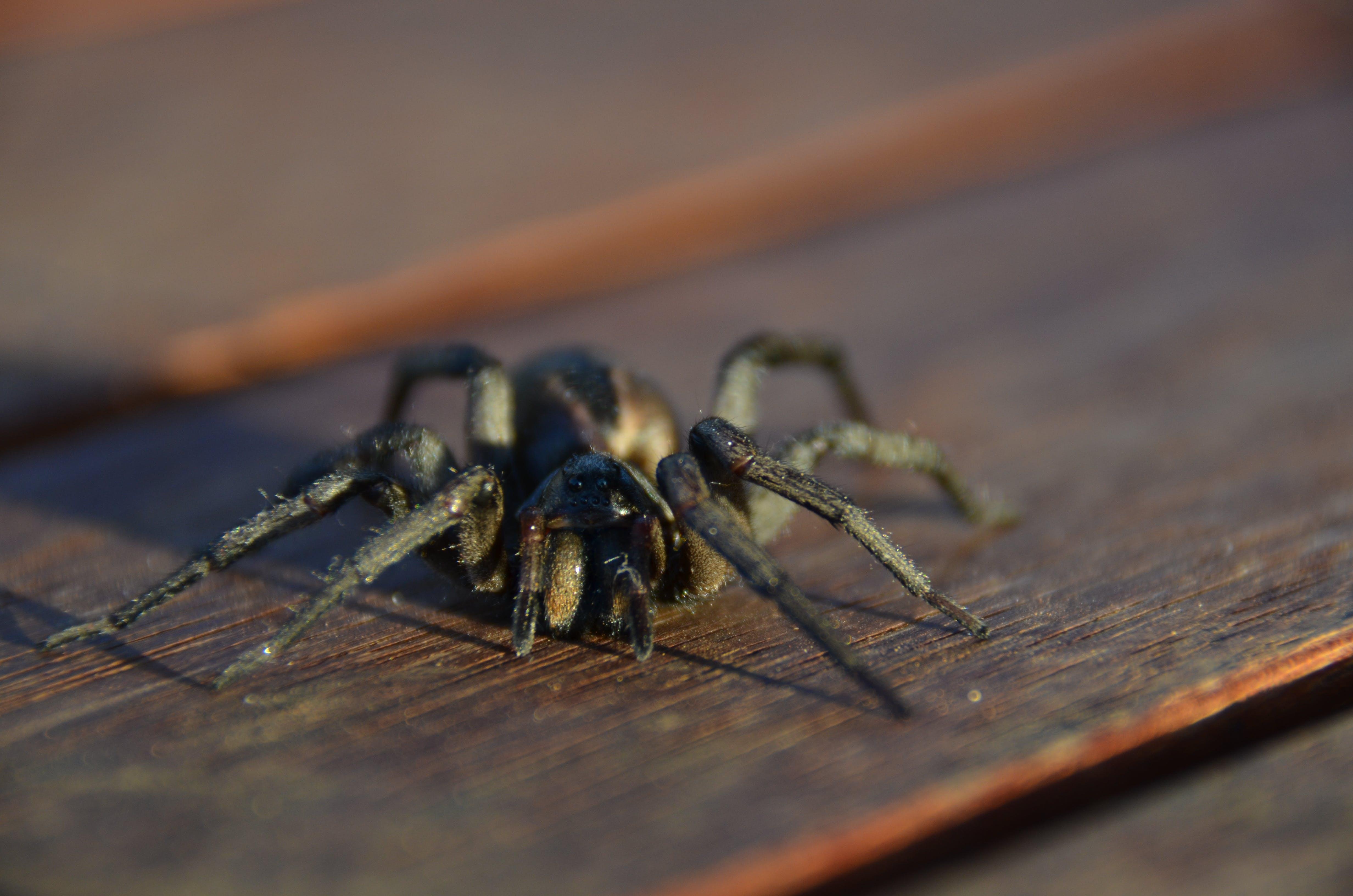 Free stock photo of large australian spider
