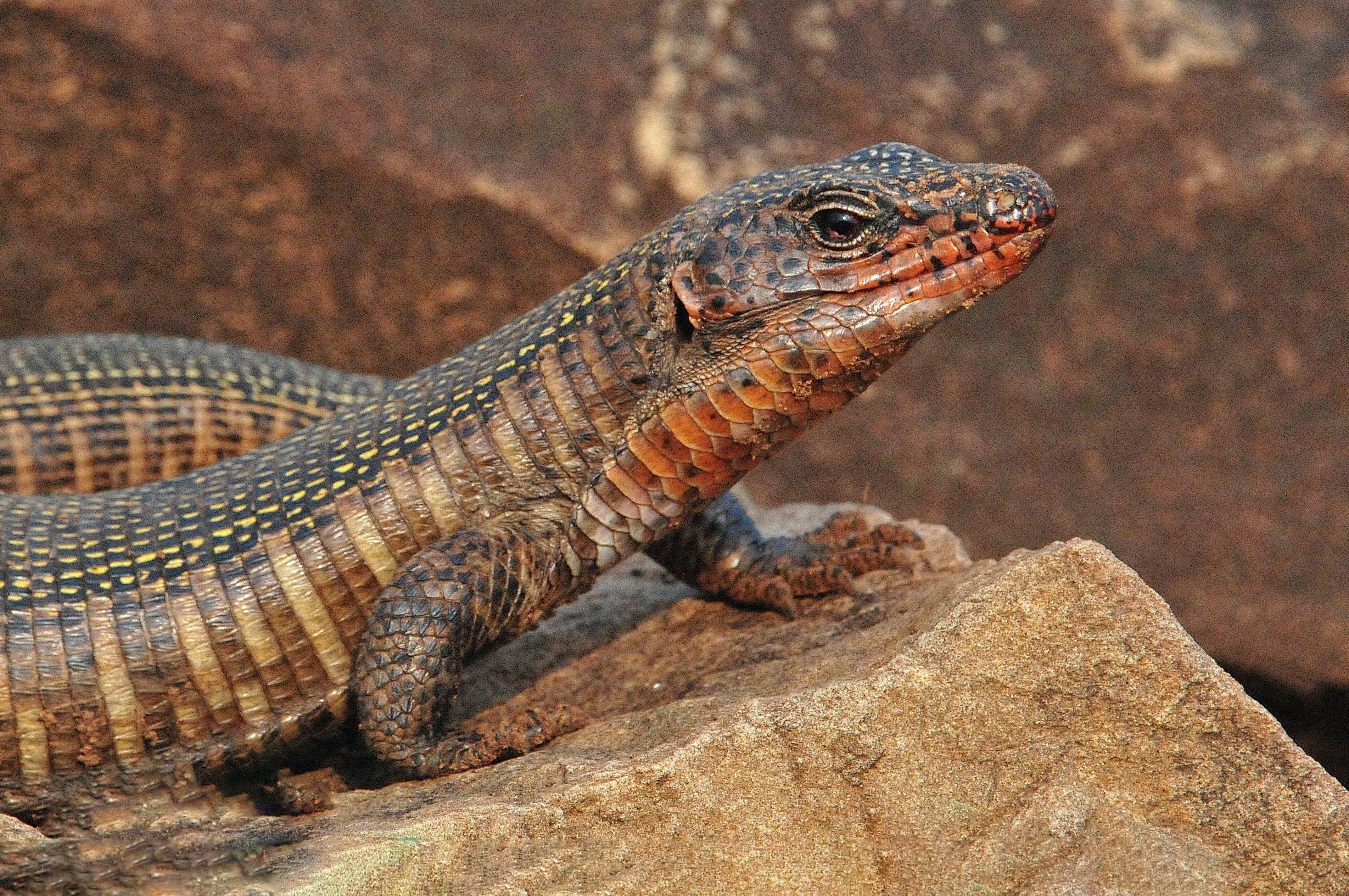 Close-Up Photo of Lizard on Rock