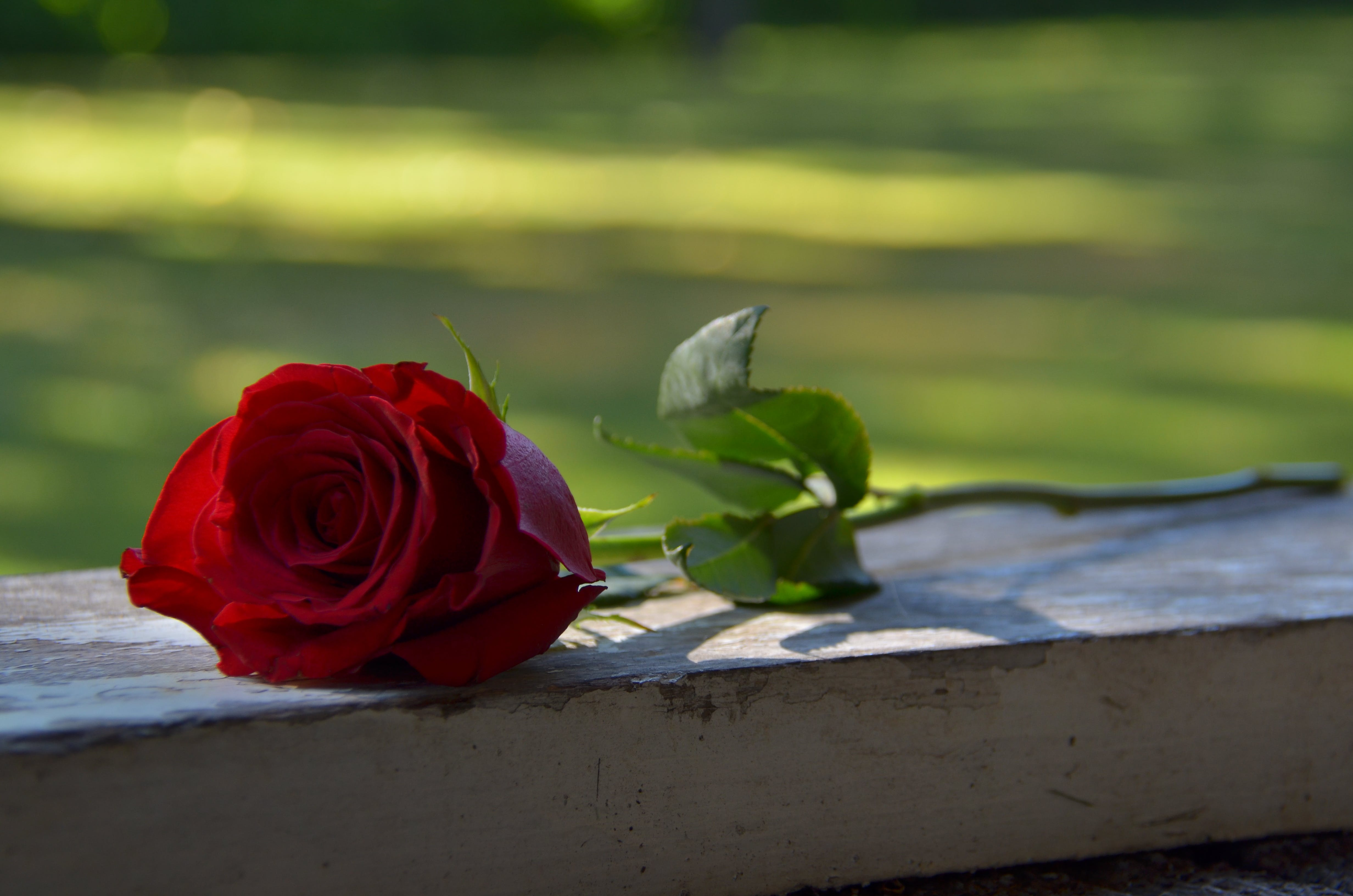 Free stock photo of Red Rose, happy valentine