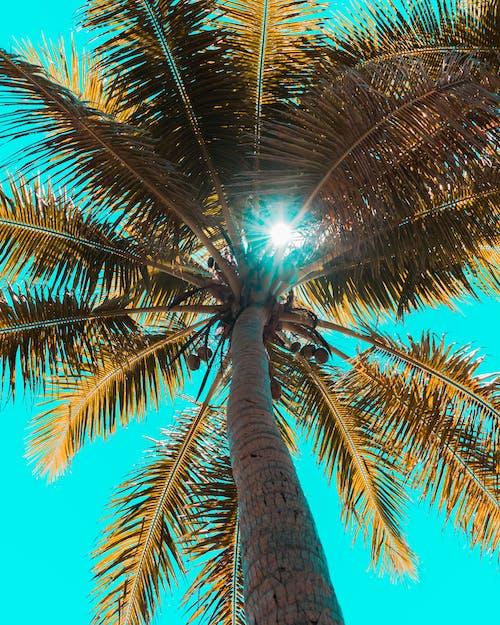 Free stock photo of beach, blue background, blue sky, coconut