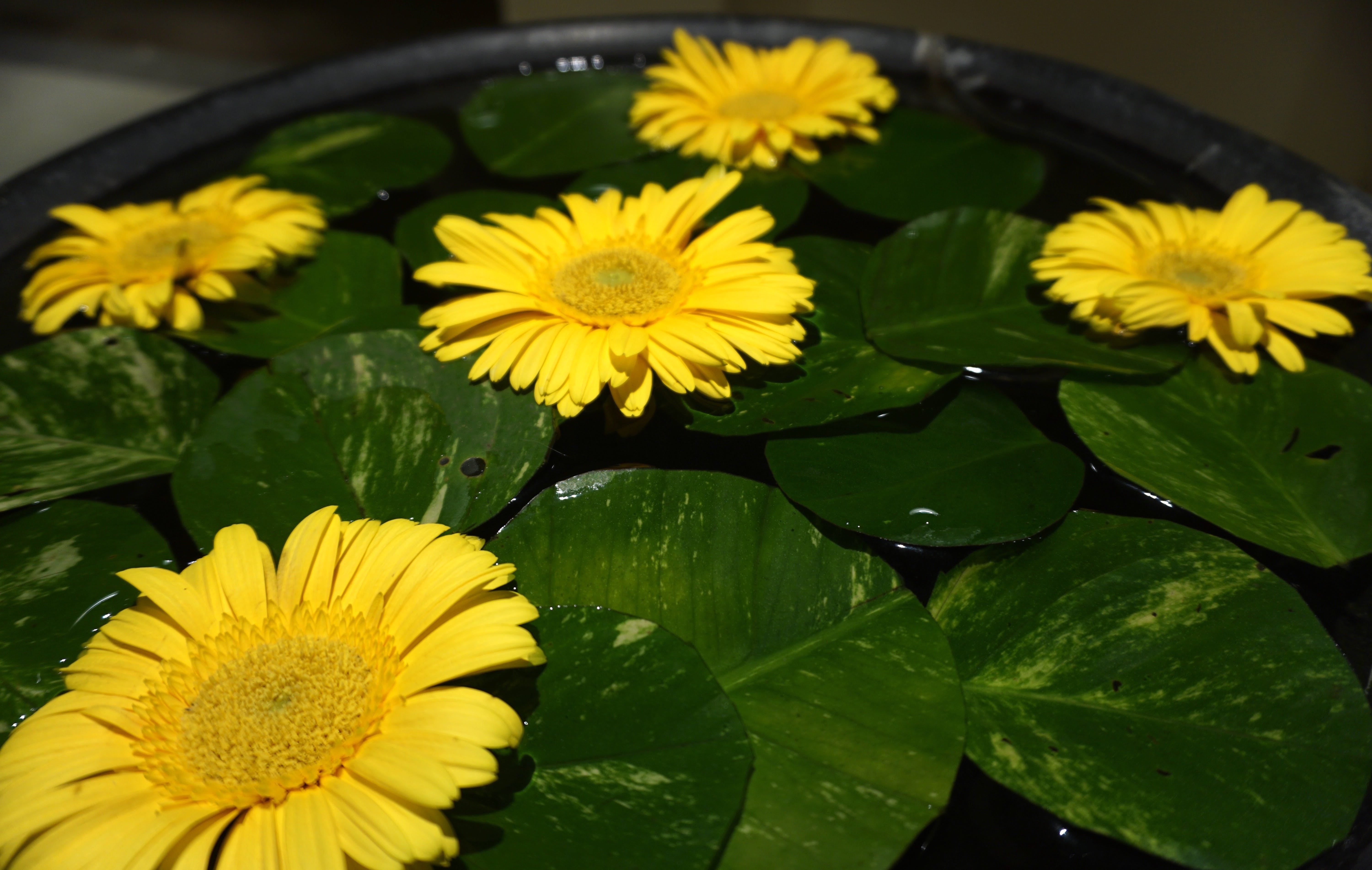 Yellow Flowers Placed With Waterlily Pods on Black Basin