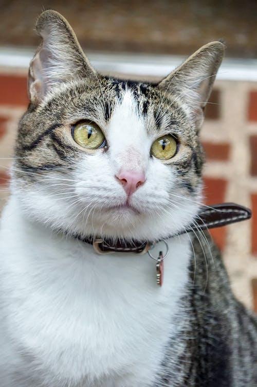 Free stock photo of animales, animals, cat, collar
