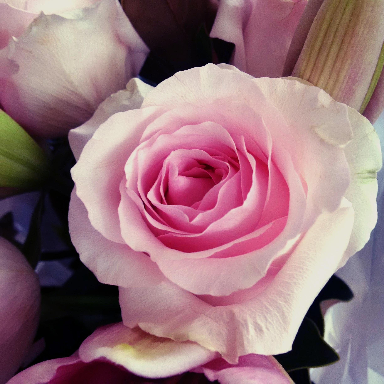 flower, love, rose
