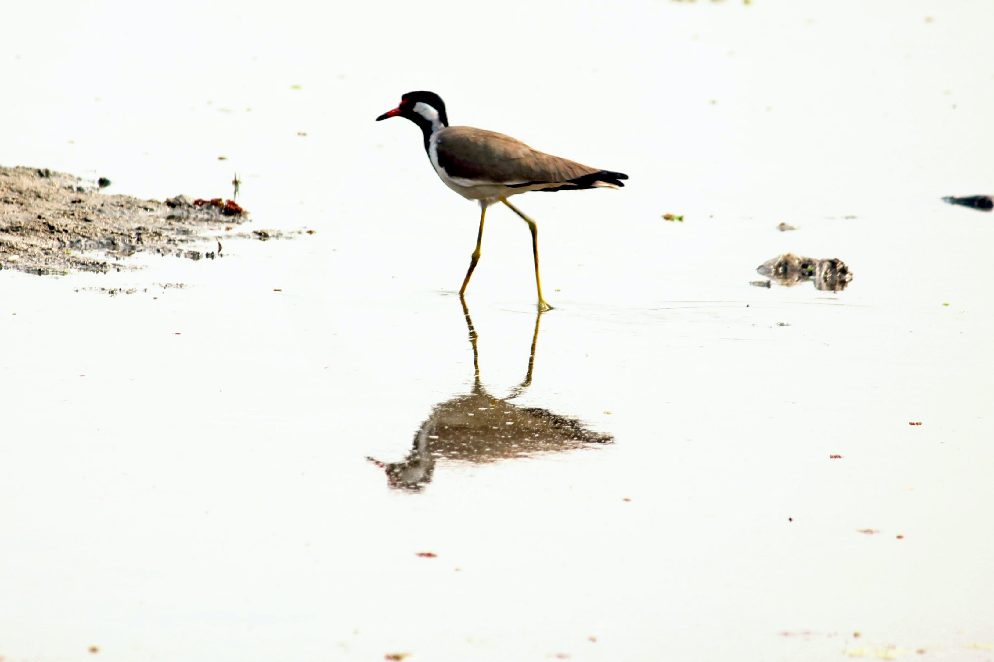 Free stock photo of bird, india, reflection