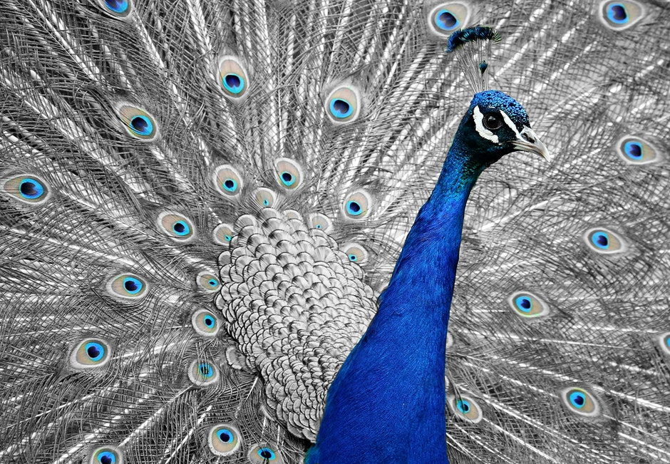 Close Up Photo of Blue Peacock