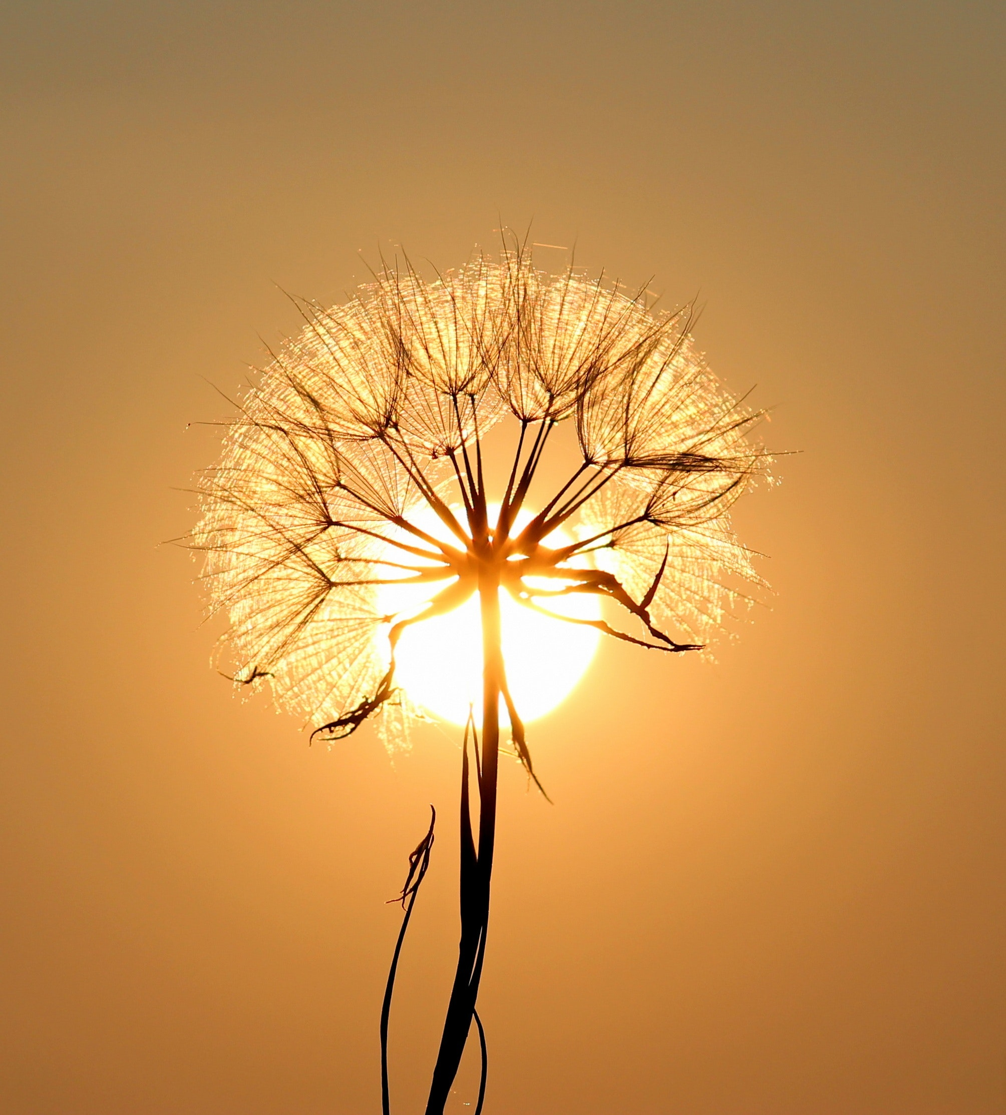 white dandelion flower · free stock photo