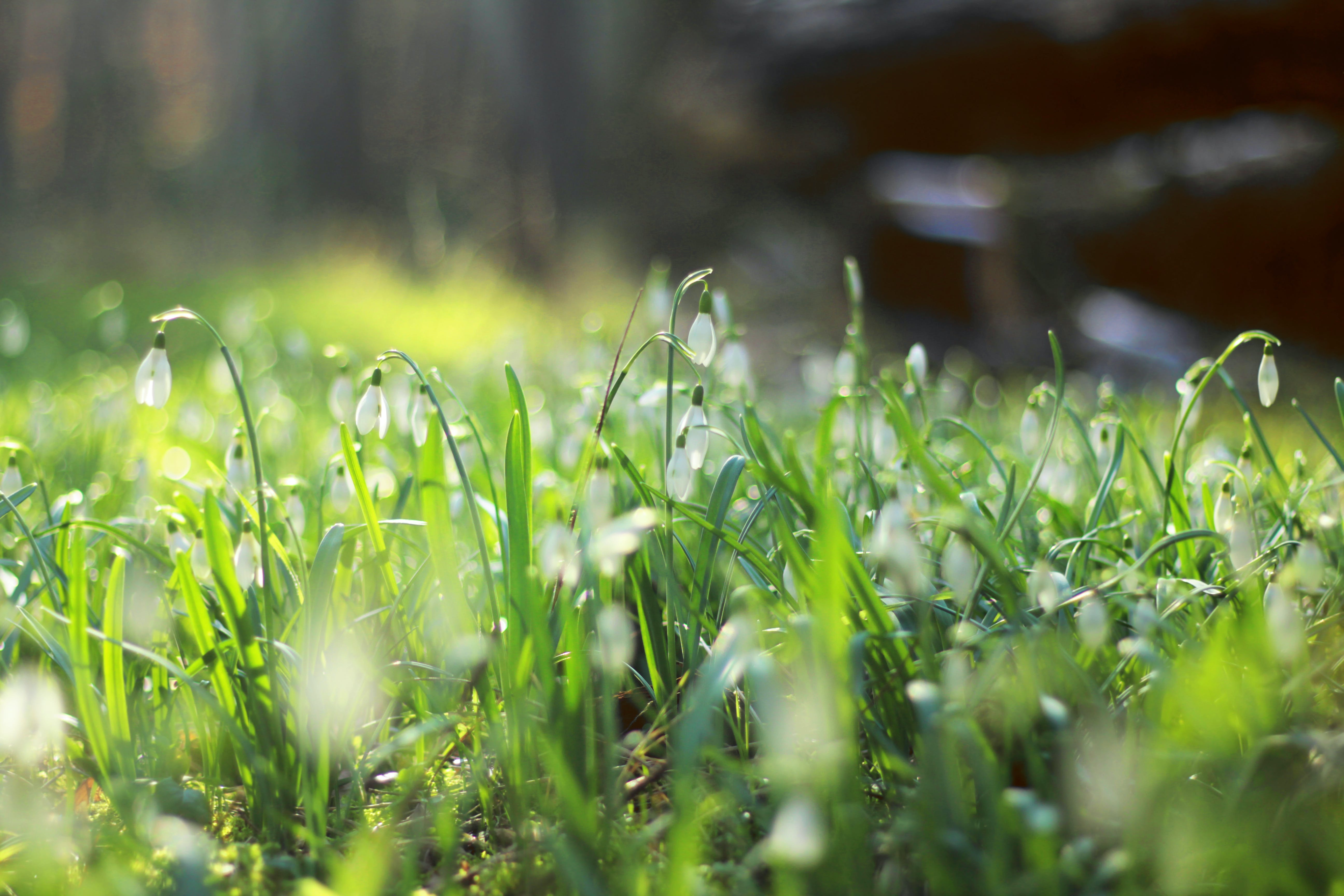 Free stock photo of field of flowers, green, snowdrops, spring flower