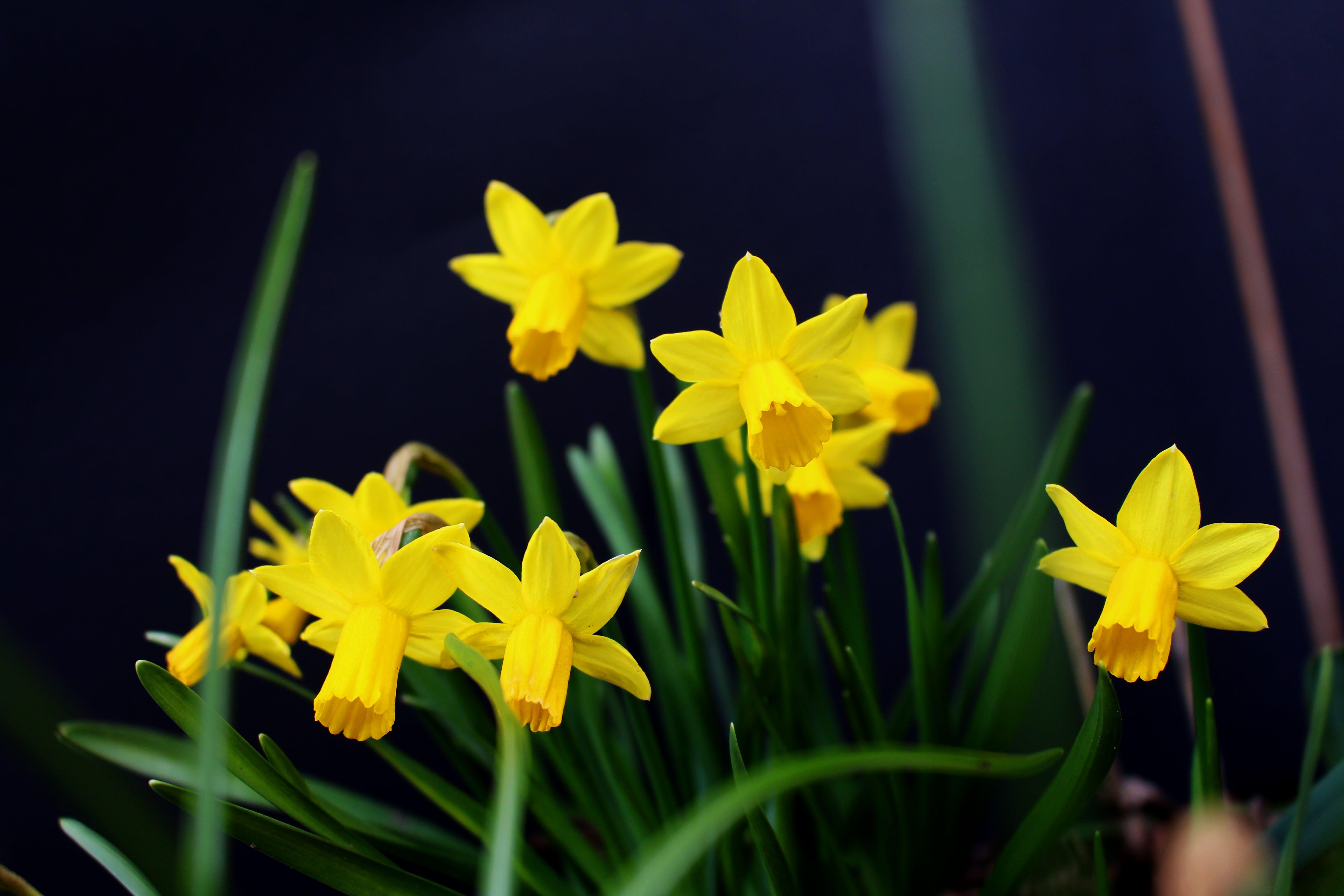 beautiful flower, black background, daffodil