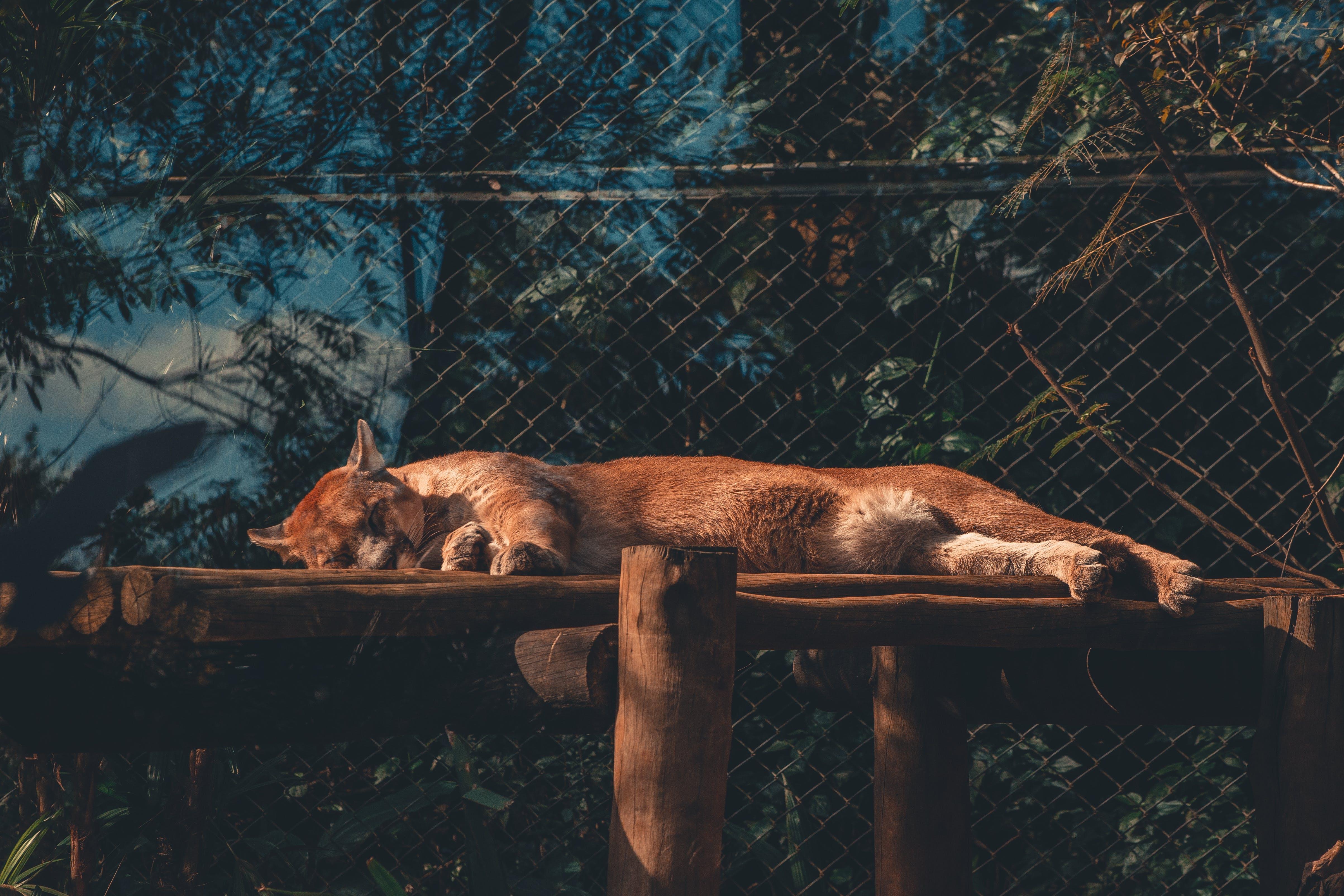 Photo of Cougar Sleeping