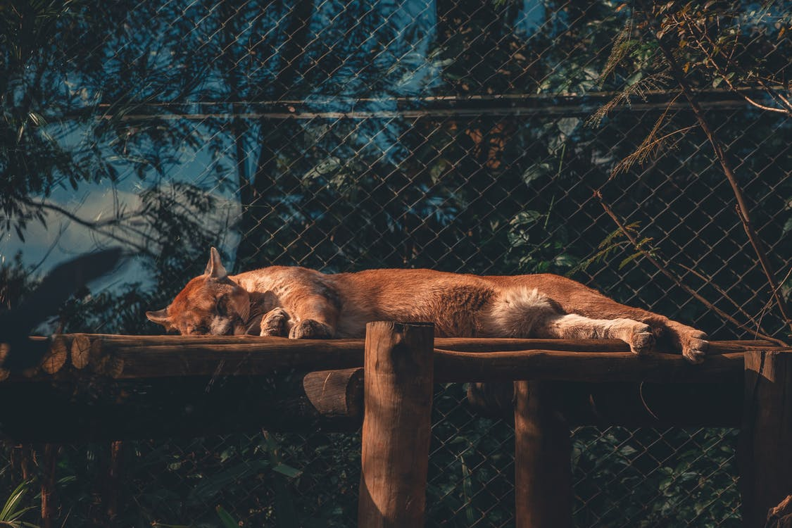 Photo of Cougar Sleeping