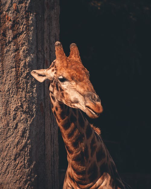 Close-Up Photo of Giraffe