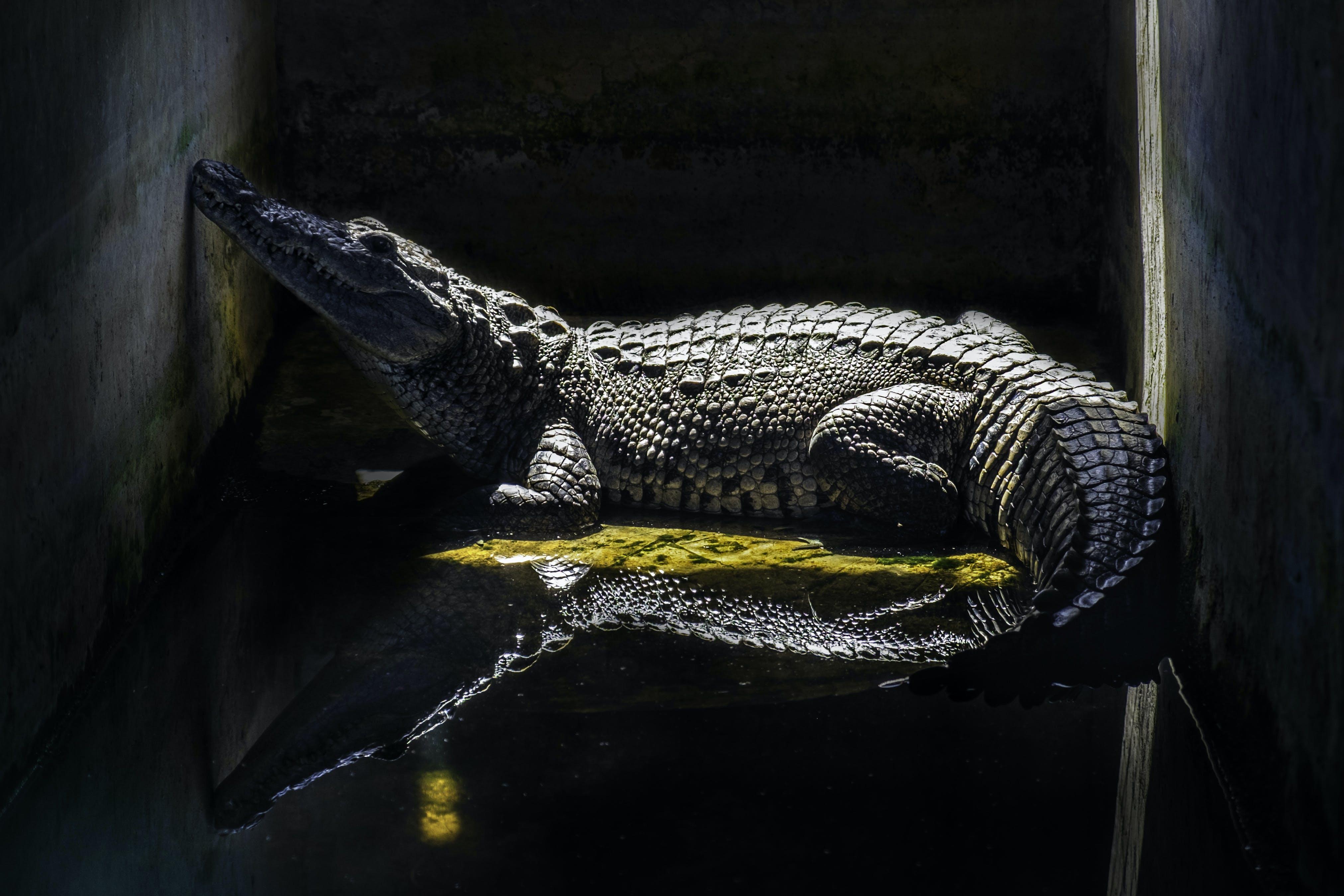 Foto profissional grátis de cadeia, Crocodilo, reflexão, reflexos de luz