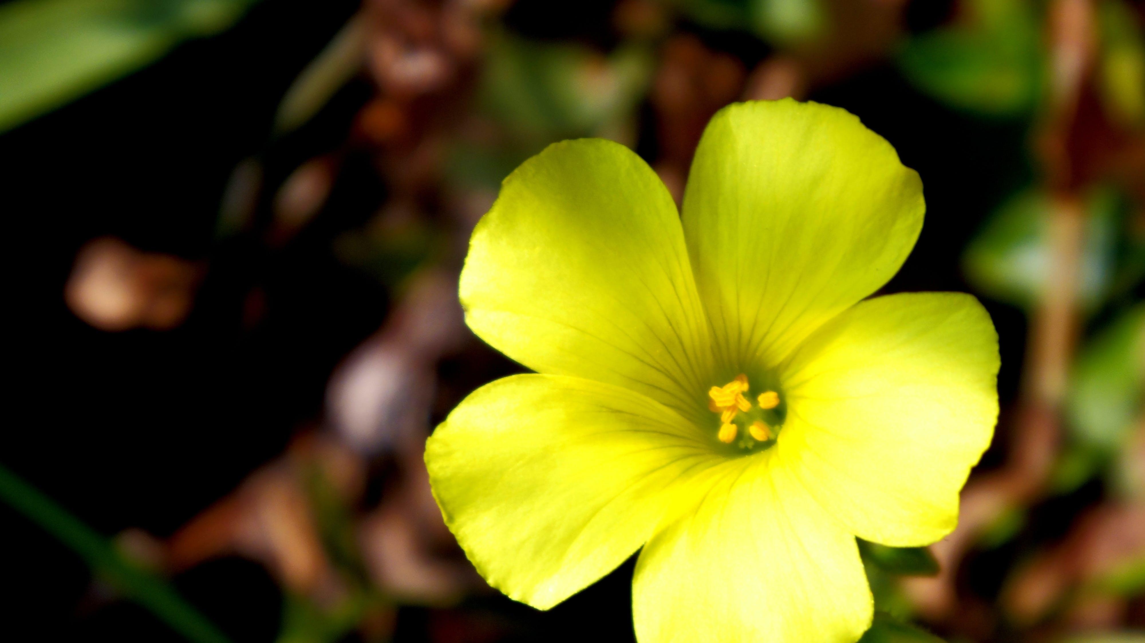 Free stock photo of flowers, yellow