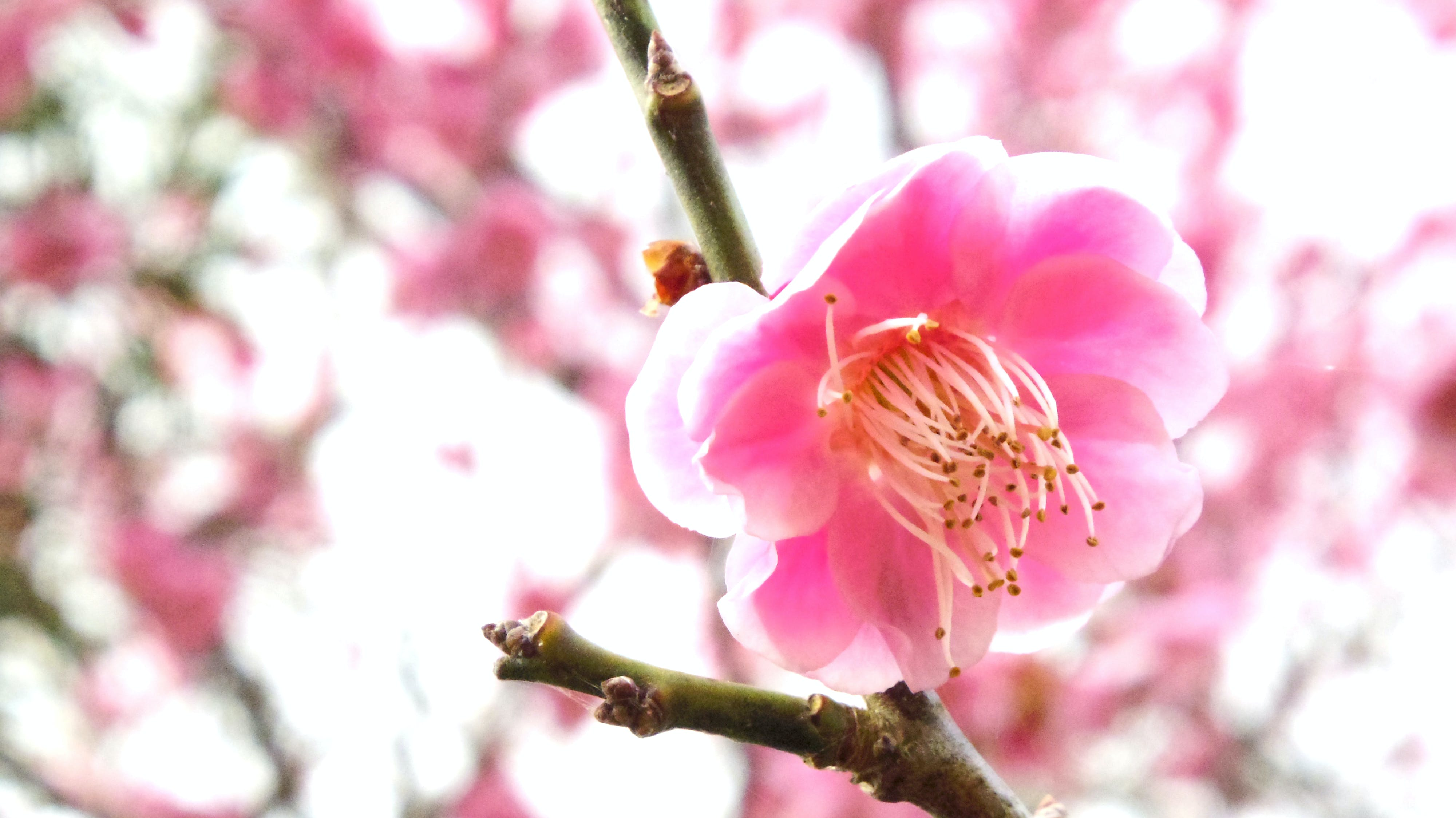 Free stock photo of blossoms, pink, plum