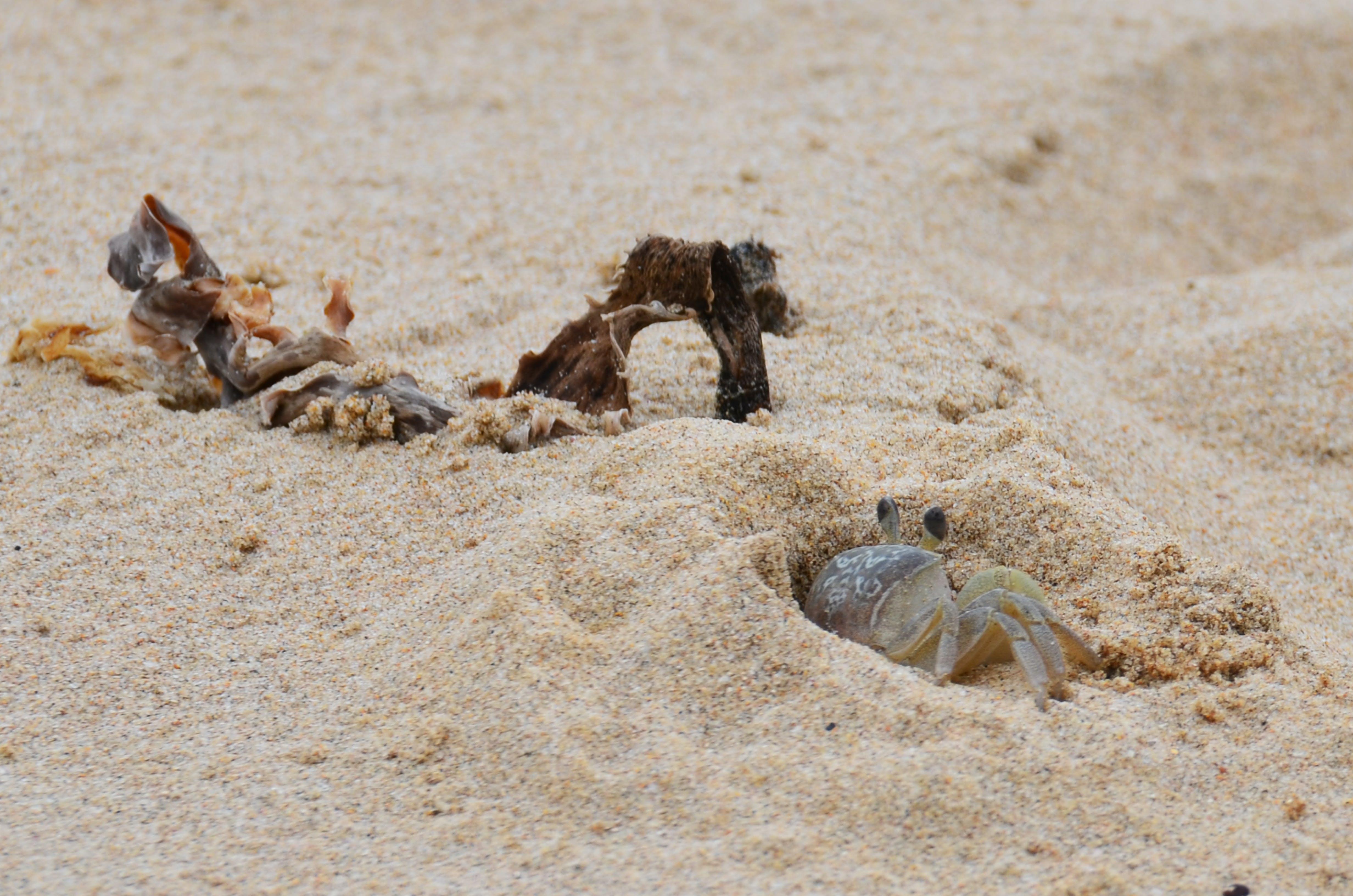 Free stock photo of sand, crab, seaweed