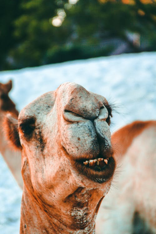 arabská ťava, chlpatý, cicavec