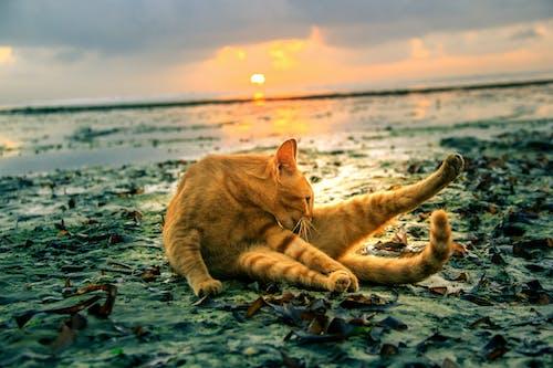 斤模型, 海灘貓, 貓在沙灘上 的 免費圖庫相片