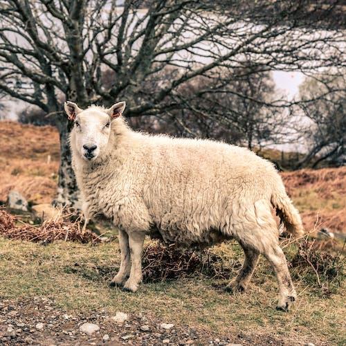 羊の無料の写真素材