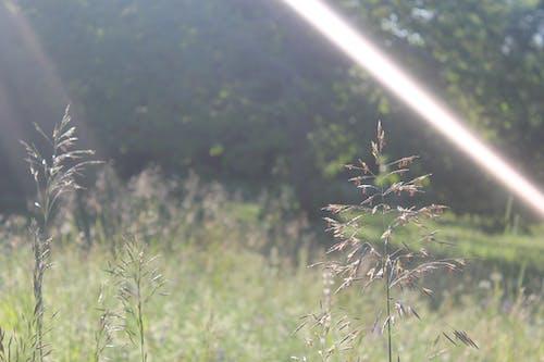 Free stock photo of field, flowers, light
