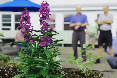 Free stock photo of flowers, plants, purple