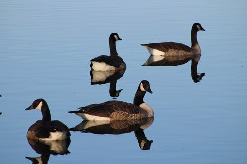 Free stock photo of geese