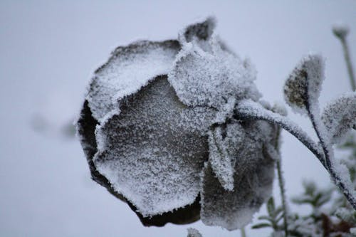 Free stock photo of rose in the snow