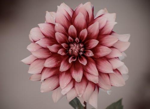 Gratis stockfoto met bloem, bloemen, gekleurd, rood