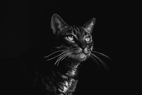 Selective Focus Photography Of Black Tabby Cat