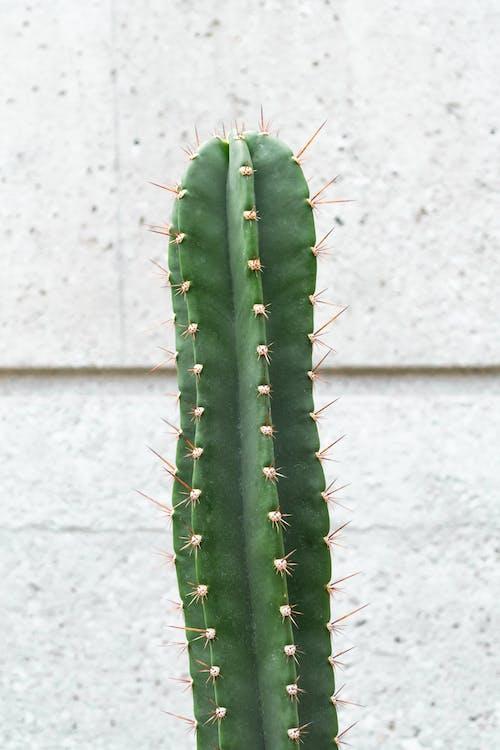 Gratis arkivbilde med anlegg, kaktus, plante, saguaro
