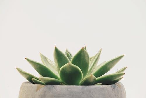 Ingyenes stockfotó agávé, asztali háttérképek, cserepes növény, gyár témában