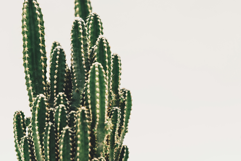 Základová fotografie zdarma na téma kaktus, pichlavý, rostlina