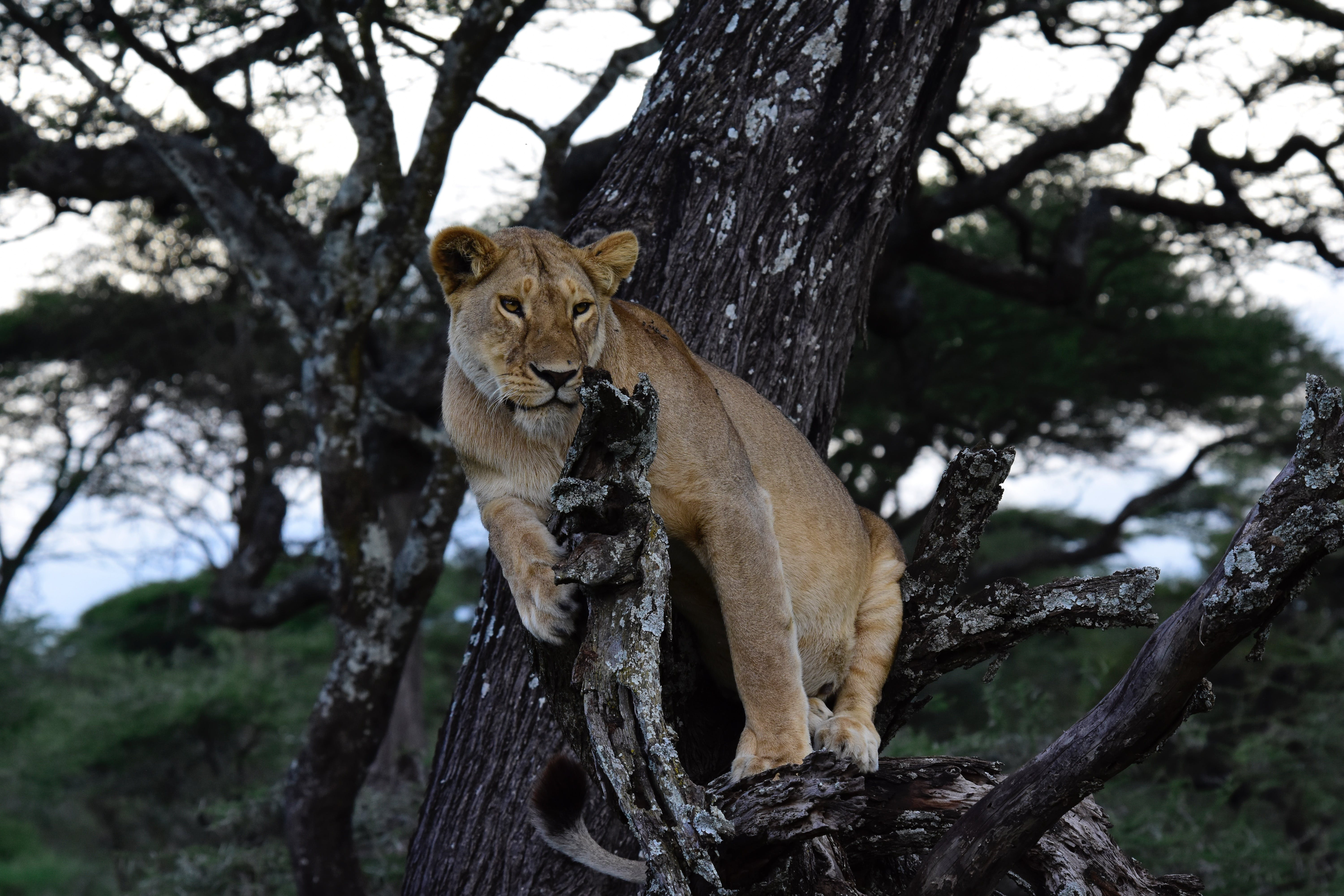 Cougar On Tree